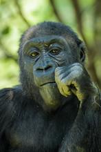 Closeup Portrait Of A Gorilla