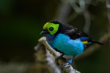 Paradise Tanager Sitting On A Branch