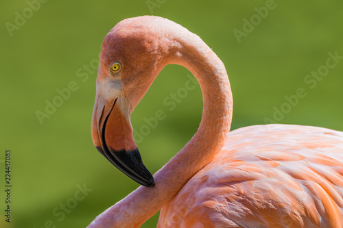 Fotobehang Flamingo Closeup portrait of a flamingo