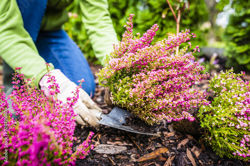 Autumn planting heathers in the garden.