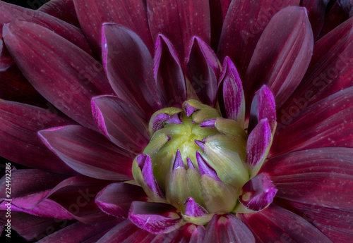 Floral fine art still life detailed color macro flower portrait image of the innner of a single isolated blooming purple red yellow wide open dahlia blossom