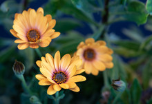 Surrealistic Fine Art Still Life Flower Color Vintage Image Of Three Golden Yellow African Cape Daisy / Marguerite Blossoms With Buds,blurred Green Background,vintage Painting Style