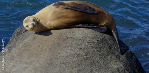Photo  Smiling Sea Lion on rock