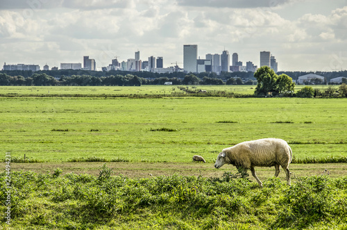 Fotografija Sheep walking on a dike in a polder just north of Rotterdam, The Netherlands wit