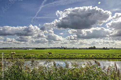 Fotografija Polder landscape just north of Rotterdam with a canal, reeds and sheep, with the