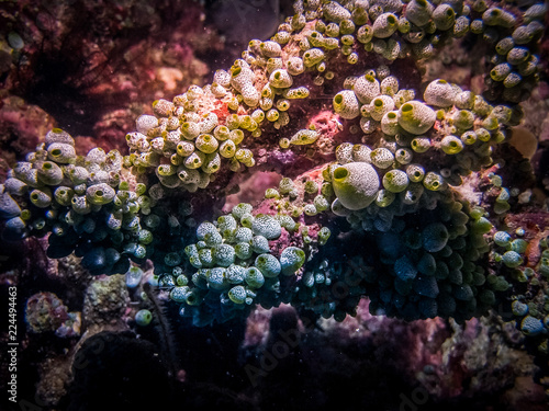 Fotografia  Coral polyp system at The Great Barrier Reef, Australia