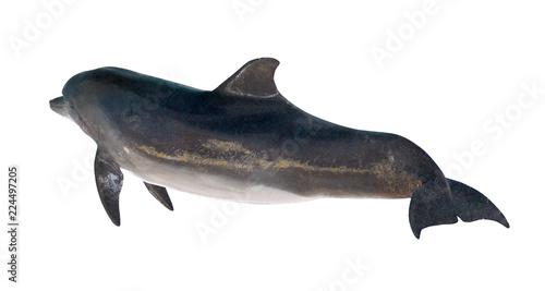 Fotomural isolated on white dark grey bottlenose dolphin
