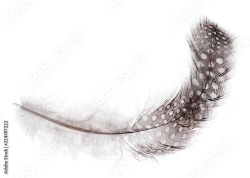puszyste długie pióro w jasnych plamach na białym tle