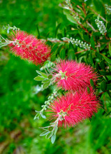 Plant Of Callistemon With Red ...