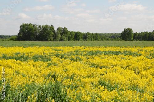 Foto op Aluminium Platteland Field of rapeseed in Kostroma region, Russia