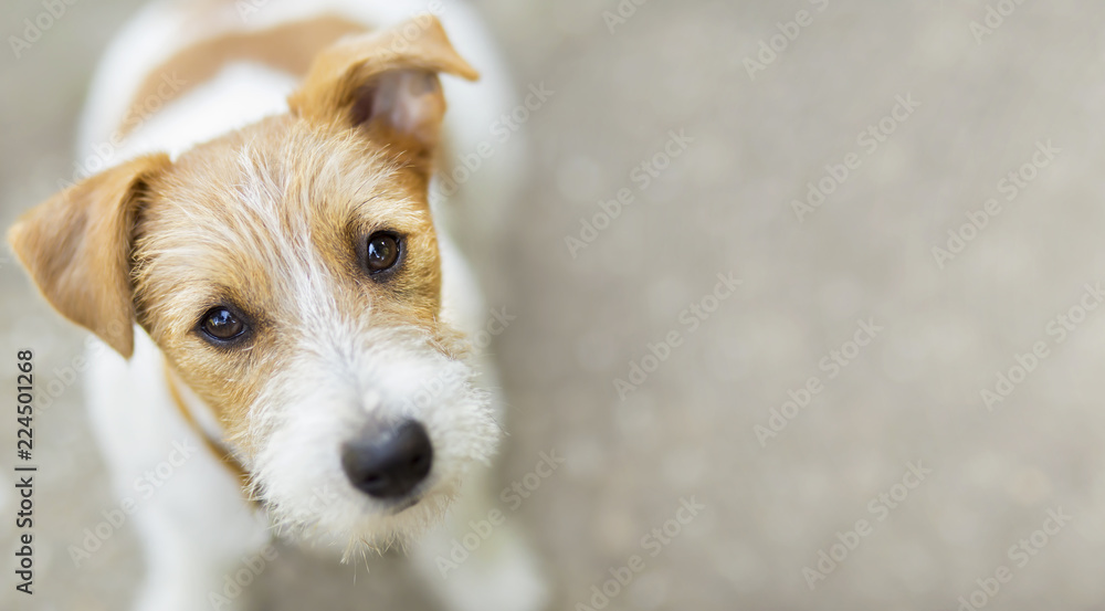 Fototapety, obrazy: Happy pet jack russell dog puppy looking at the camera - web banner, background