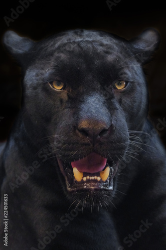 Poster Panter black panther shot close up with black background