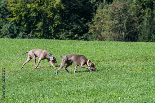Zwei Weimaraner Vorstehhunde im Freilauf