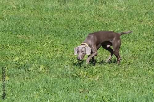 Vorstehhund bei Feldsuche