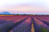 Fototapeta Krajobraz - lavender fields at sunset time in the Valensole region, Provence, France, golden hour, intensive colour in evening light