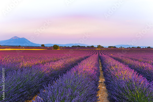 Tuinposter Lavendel lavender fields at sunset time in the Valensole region, Provence, France, golden hour, intensive colour in evening light