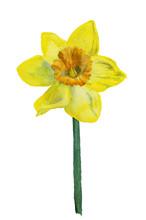 Watercolor Image Of Yellow Nar...