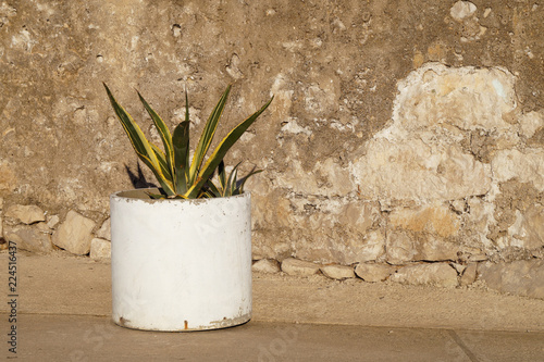 Foto op Canvas Planten Snake Plant/Mother-in-Law's Tongue