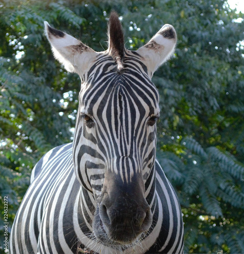 Close up of zebra looking straight at the camera