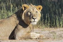 Botswana, Kgalagadi Transfrontier Park, Young Male Lion, Panthera Leo