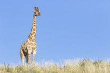Africa, Botswana, Kgalagadi Transfrontier Park, Giraffe