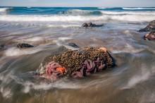 Sea Stars At Low Tide On The Washington Coast