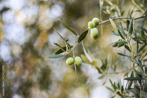 Keuken foto achterwand Olijfboom Olives growing on an olive tree in an olive grove in the summer.