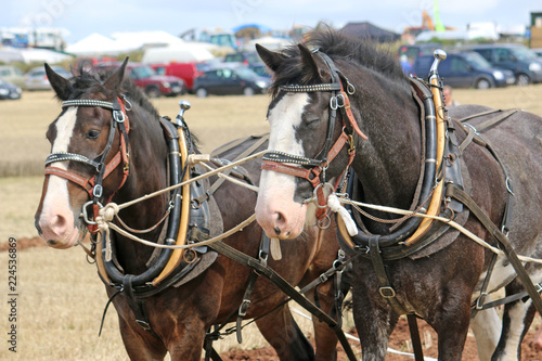 Shire horses in harness