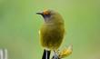 Bellbird in the wild, New Zealand