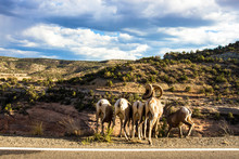 A Male Bighorn Sheep With Three Females And A Juvenile Stand Along Rim Rock Drive, About To Go Down A Steep Cliff In Colorado National Monument