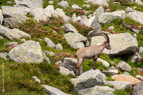 Fotografia  Some young ibex graze in a meadow between the rocks in the high mountains