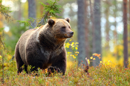Big brown bear in a colorful forest looking at side