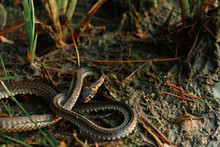 The Grass Snake, Sometimes Cal...