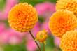 canvas print picture - Orange Balldahlie (Asteraceae) blüht in der warmen Sommersonne.