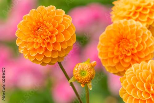 Orange Balldahlie (Asteraceae) blüht in der warmen Sommersonne.