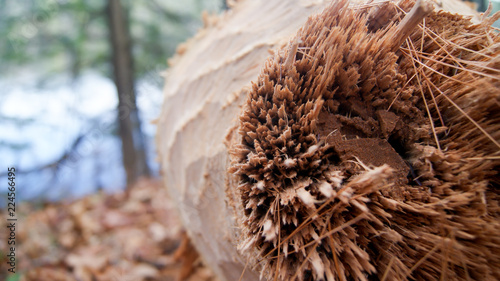 Fotobehang Macrofotografie Macro photo of Tree trunk gnawed & felled by beavers teeth in the woods next to a lake in Massachusetts, New England USA
