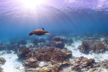 Swimming Turtle On Great Barrier Reef