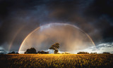 Fototapeta Tęcza - Autumn rain in the evening and full rainbow in the fields above trees.