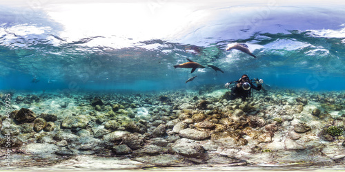 Sea lions play with diver in Galapagos Canvas Print