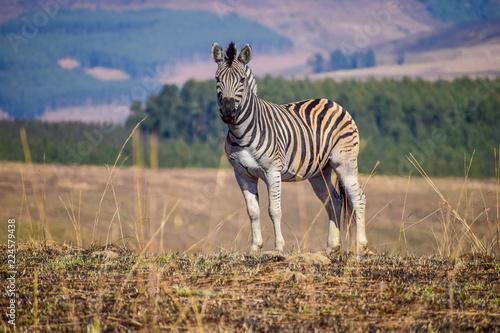 Tuinposter Zebra Zebra in South Africa