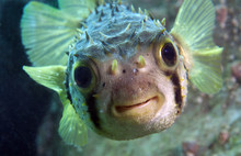 Spiny Porcupine Fish Smiles At...