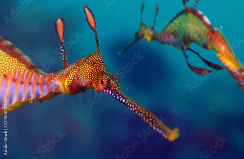Photo Stands Coral reefs Two weedy seadragons