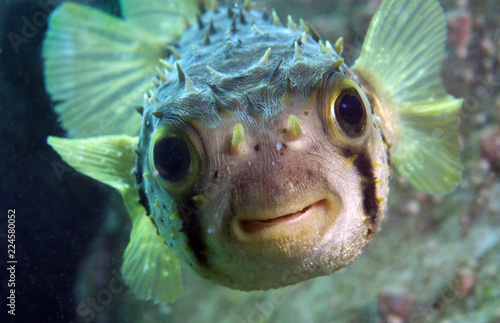 Photo  Spiny Porcupine Fish smiles at camera