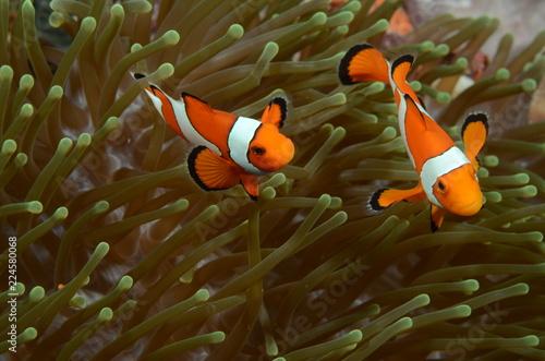 two clownfish in anemone Fototapete