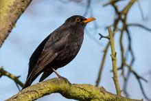 Common Blackbird (Turdus Merula) Sitting On Mossy Branch Against Blue Sky. Black Thrush With Yellow Beak.