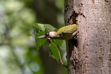 European Green Woodpecker (Pic...