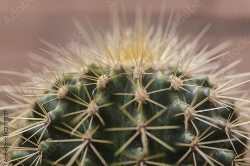 Tuinposter Cactus crown of echinocactus grusonii, a cactus also known as known as the golden barrel cactus