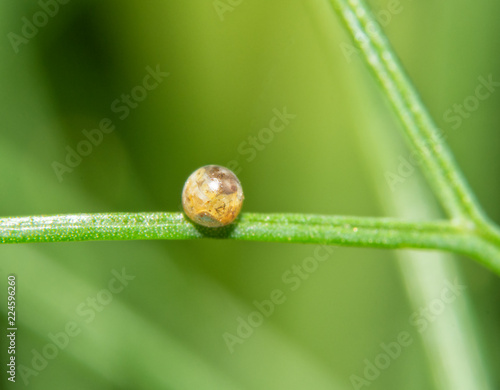 A single Black Swallowtail butterfly egg attached to a delicate Fennel leaf; wit Wallpaper Mural