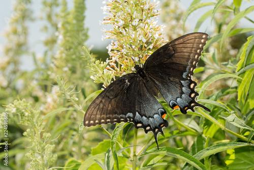 Fotografía  Dark morph of female Eastern Tiger Swallowtail butterfly feeding on a white Budd