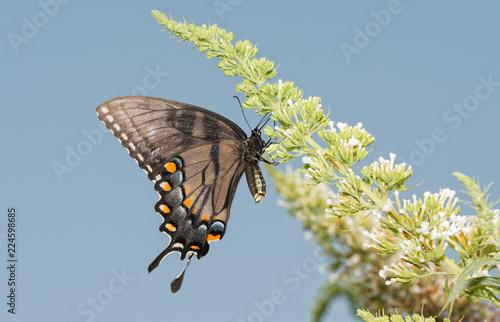 Fotografía  Ventral view of a Dark morph of female Eastern Tiger Swallowtail butterfly feedi